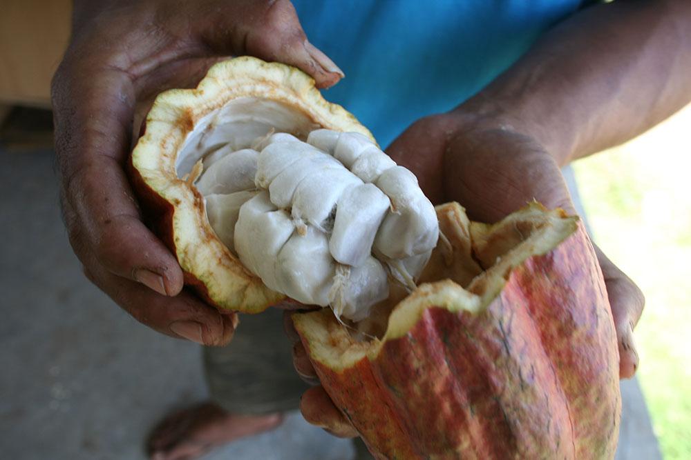 En öppnad kakaofrukt